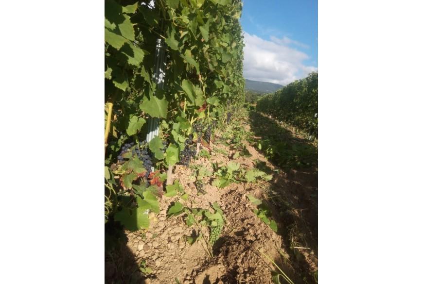 Les travaux en vignes touchent à leur fin